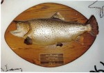 Giant brown trout skin mount...