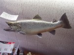 Bob Bringhurst's then World Record Brown Trout from Flaming Gorge hangs in Ken's Sporting Goods in Bridgeport Ca.