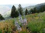 Wild flowers at the Hells Canyon Overlook